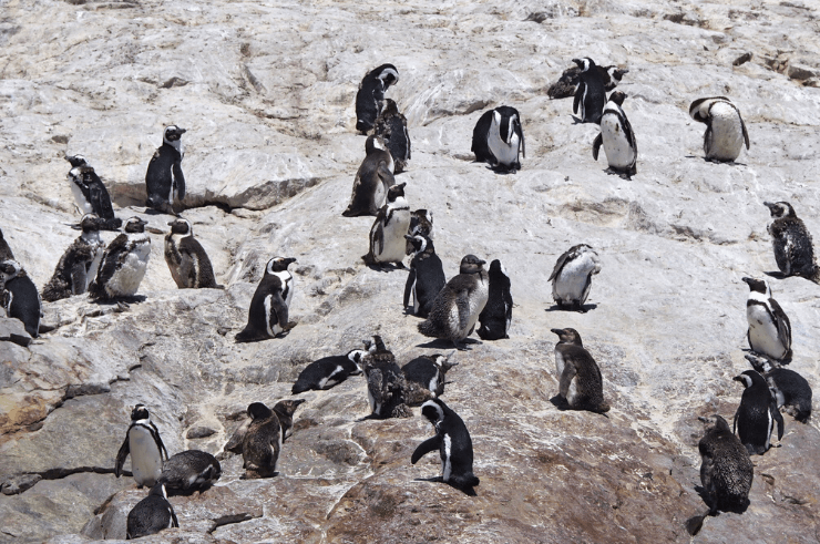 Penguins in Algoa Bay, Addo Elephant National Park