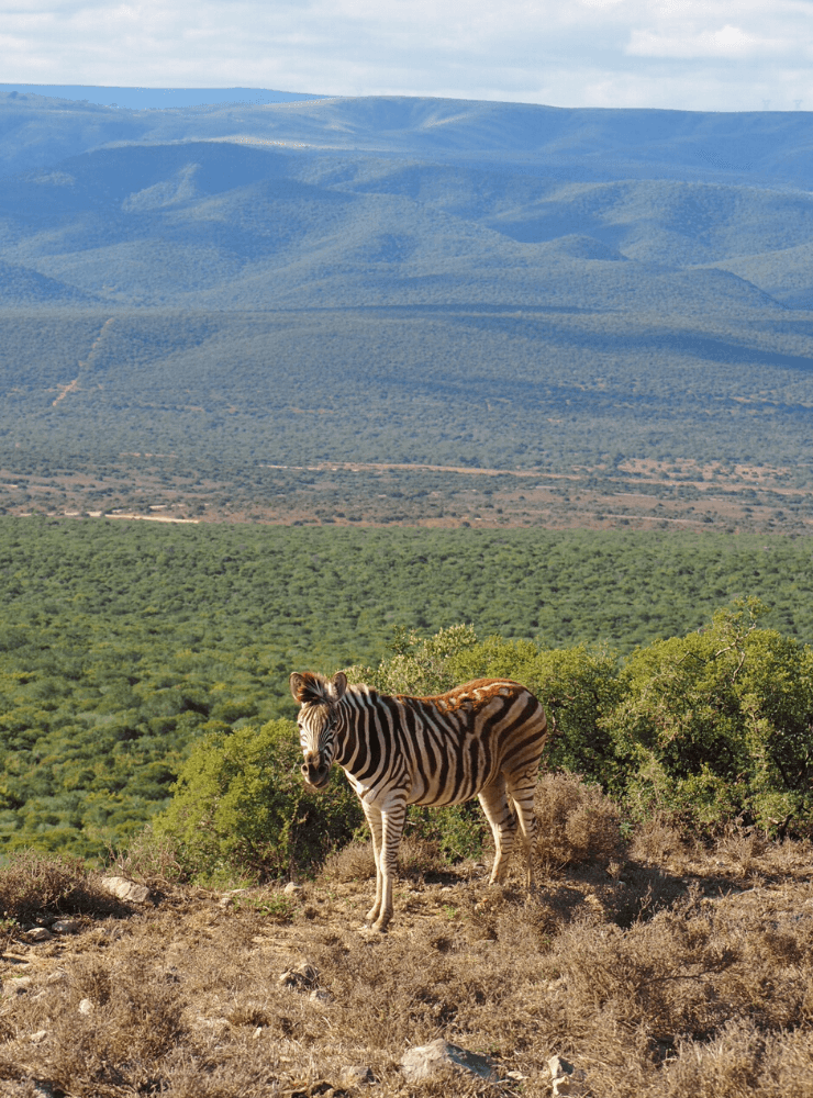 Zebra in Addo Elephant National Park