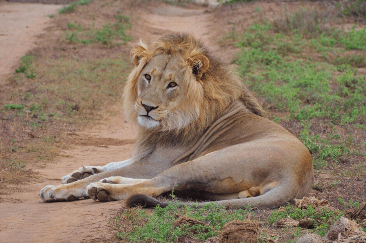 Lion in Addo Elephant National Park
