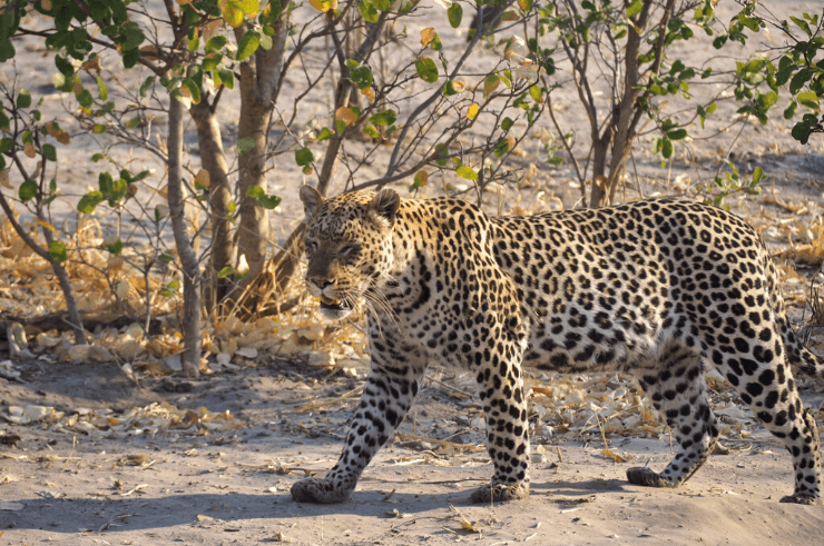 Leopard in Savuti, Botswana - Rock My Adventure Tours