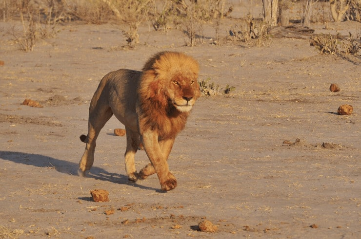 Male Lion in Savuti, Botswana - Rock My Adventure Tours