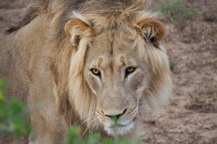 Lion in Addo Elephant National Park, South Africa