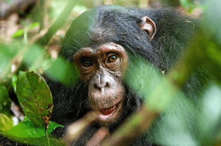 Chimpanzee Tracking, Uganda