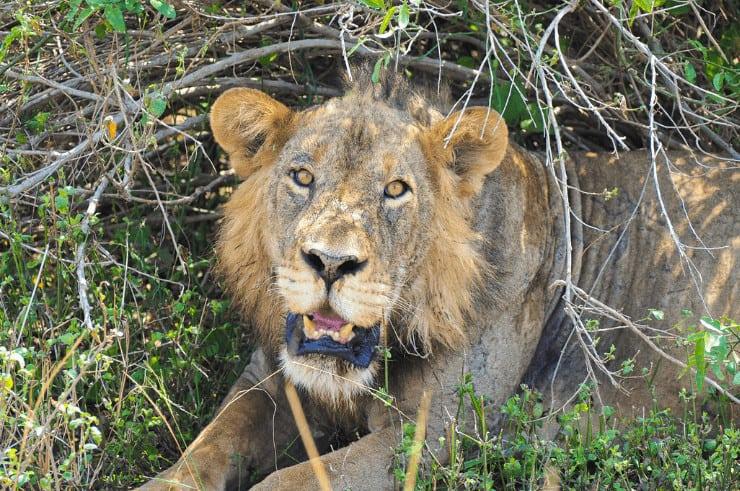 Lion in Queen Elizabeth National Park, Uganda