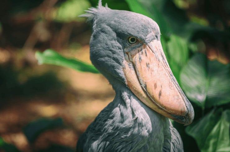 Shoebill, Mabamba Swamp, Uganda