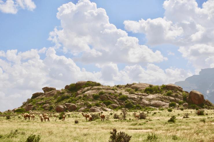 Camels in Northern Kenya