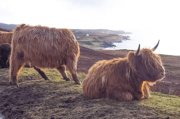 Scotland - Highland Cow