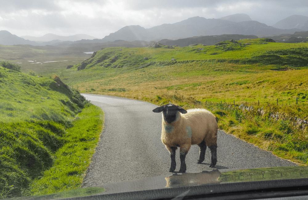 Sheep, Lewis, Outer Hebrides, Scotland