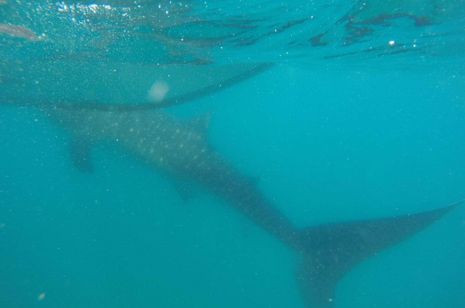 Whale Shark Tofo Mozambique