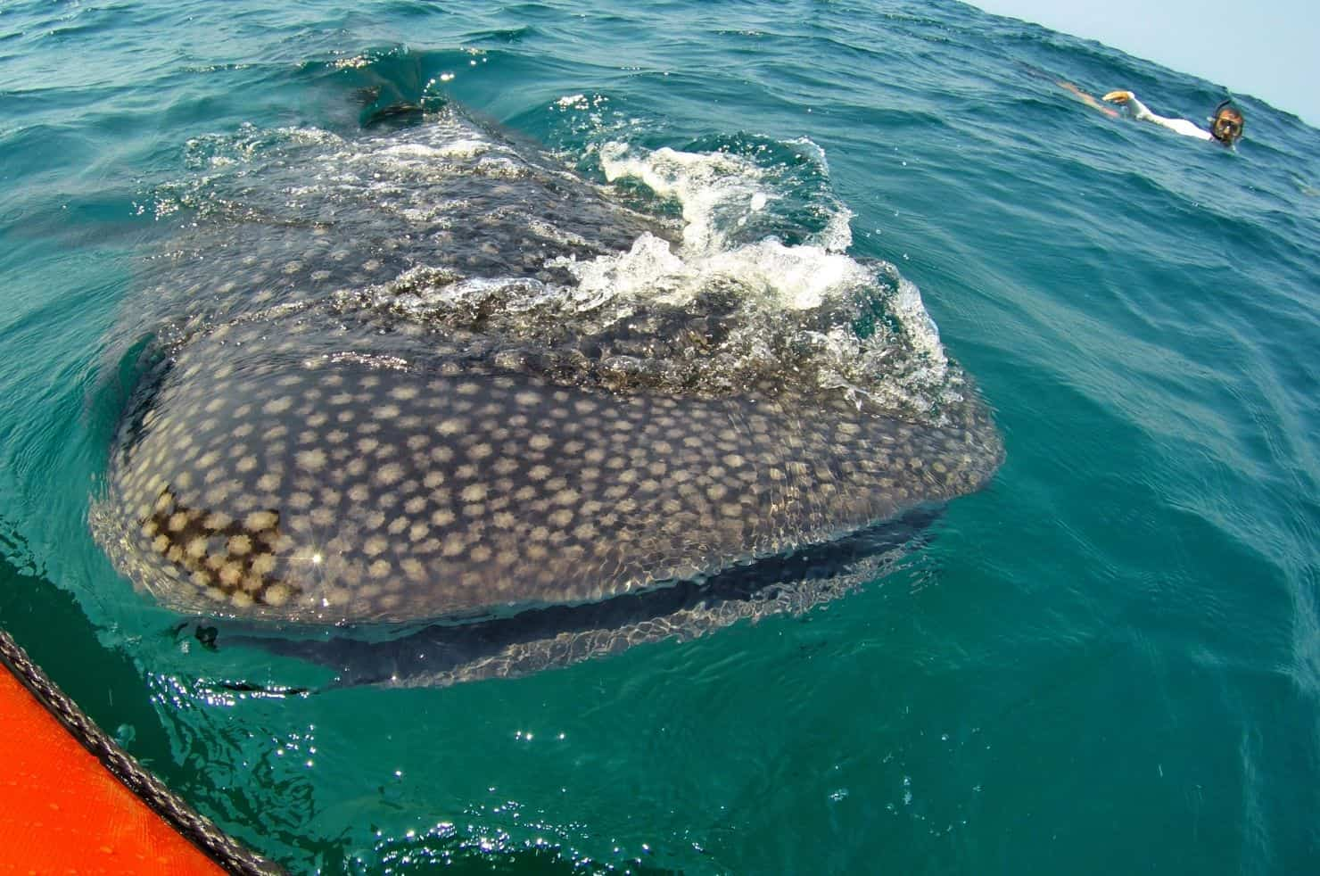 Whale Shark Breaching the Water in Tofo Mozambique