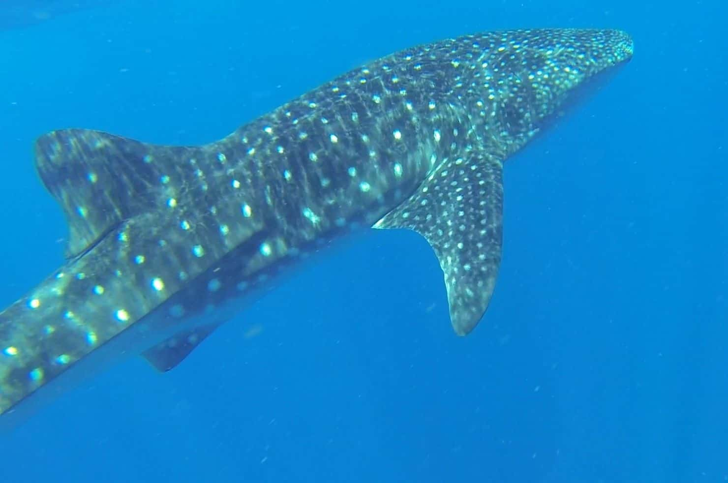 Whale Shark in Tofo Mozambique