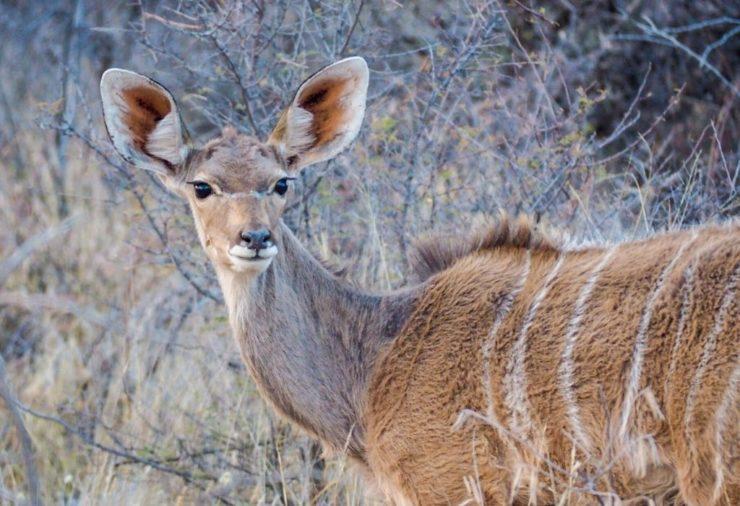 Kudu in Etosha National Park in Namibia