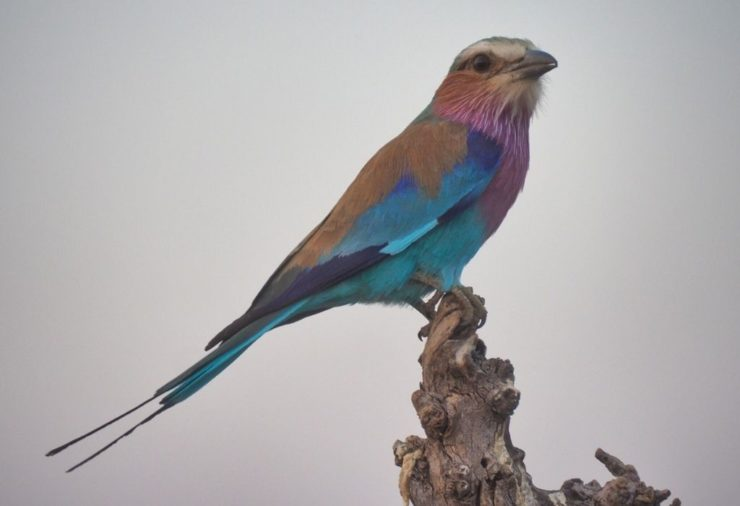 Lilac-Breasted Roller - Botswana