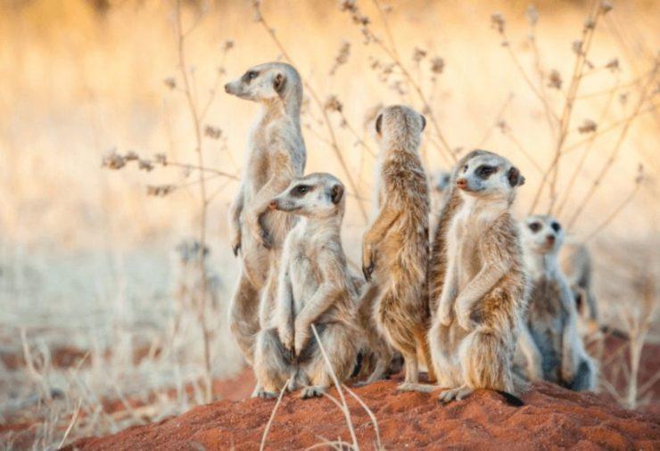 Meerkats, Makgadikgadi Pan - Botswana