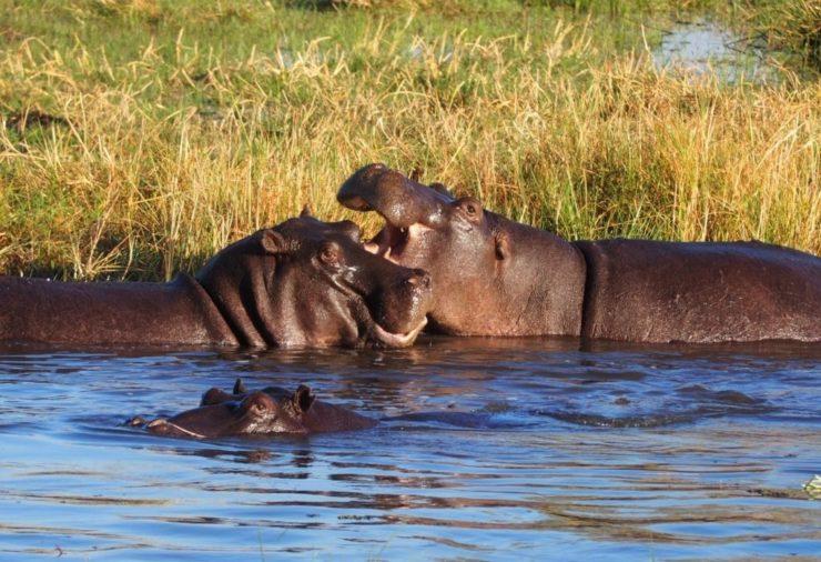 Hippos in Khwai Concession - Botswana