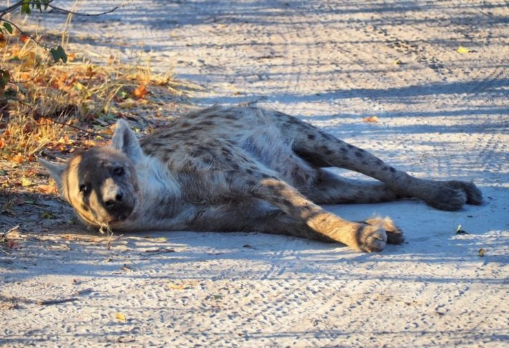 Hyena in Moremi Game Reserve Botswana