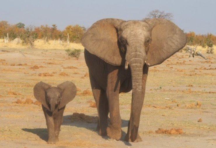 Elephants in Savuti Chobe National Park