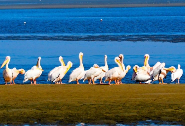 Pelicans in Walvis Bay Namibia