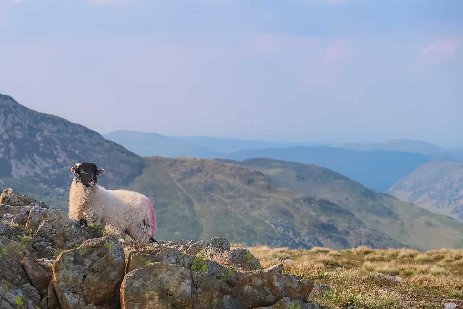 Sheep on the Lake District fells.